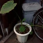 個室貸切 昭和レトロ居酒屋 集っこ - サトイモ栽培