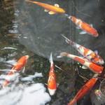 オテル・ド・マロニエ 下呂温泉 - 池に鯉が泳いでいました。