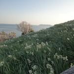 和匠よし乃 - 斜面に水仙が咲いてます