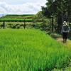 農家酒場 どはってん - 料理写真:二上山麓より奈良特産米のヒノヒカリです。今では希少、『はざかけ』をする天日干し米です。