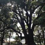 入船 - お店の側 南方神社の大クスの木