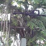 22345329 - パーラーわかばの近くにある「名護の守り神のような存在」となっている「ひんぷんガジュマル」(樹齢はだいたい280~300年と考えられているらしい。)