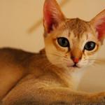 ラグドール - 世界一小さい猫は「シンガプーラー」です。