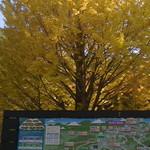 22862481 - 高尾山口駅の地図と見事な銀杏の木