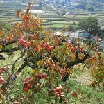22979262 - 石舞台付近の丘から明日香を見る。柿の実がマジ珍しくて写真を撮った。