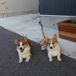 のいち - 看板犬のノイチ&シオンが店頭でお迎え