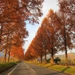 23315916 - メタセコイア並木道をドライブ