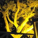 23343798 - 夜になると大木がライトアップされて・・・