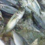 茅ヶ崎 海ぶね 楽園 - 今日も大漁!ビュンビュンのアジ