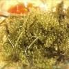 Ganeko - 料理写真:石垣島産「海ぶどう」ツル付きの新鮮海ぶどう