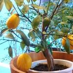 ヴォメロ - 檸檬の木