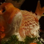 旬の海鮮 シーマーケット札幌 - 連子鯛