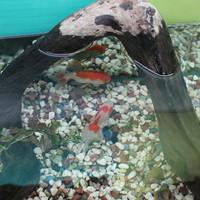 柳楽屋 - 金魚1
