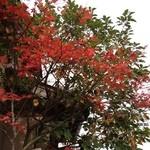 居酒屋しの - 敦賀駅の居酒屋しの 秋の紅葉