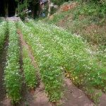 暁山 - 自家菜園の蕎麦