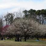 25326074 - 砧公園の梅