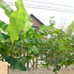 ラハイナ - 2009.6.30 撮影 店内 ② 窓辺の観葉植物