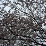 25613291 - 外の桜 満開です