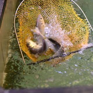 新鮮活魚が泳ぐ生け簀