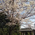 25642291 - テラス前の桜が満開です