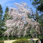 25656450 - ≪'14/03/29撮影≫快晴で満開のしだれ桜です