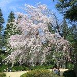 25656453 - ≪'14/03/29撮影≫快晴で満開のしだれ桜です