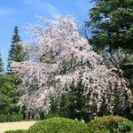 25656456 - ≪'14/03/29撮影≫快晴で満開のしだれ桜です