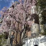 25946975 - お店近くの桜