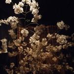 宇奈根 山中 - 入口の桜に迎えられました・・・