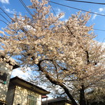 尾原商店 - 店舗前の桜