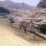 レストラン・キャニー - ソメイヨシノ七分咲き