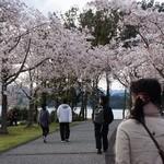 26076697 - 桜なかなか良かったです^^