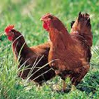 赤鶏純和鶏