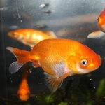 金泉軒 - ロゴマークの金魚ちゃんが迎えてくれます。