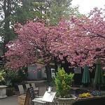 26909215 - 満開の山桜のもとの、福生のビール小屋、左手の建物。