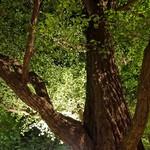 キハチ - ライト・アップされた銀杏の樹