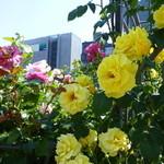 エルマーズグリーンカフェ - 中之島バラ園の、ビルの間にバラ達!!!