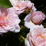 エルマーズグリーンカフェ - 2014年5月 中之島バラ園のバラ