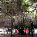 兎月園 - 300有余年の藤の巨木  見事ですね♬