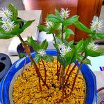 出羽屋 - ロビーカウンターに飾られていたヒトリシズカの鉢植え