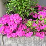 わさび亭 - 隣のつつじの花