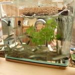 懐石料理 桝田 -  鮎の水槽