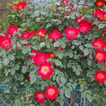 中華香彩JASMINE - 近隣パーキングで咲いていたお花