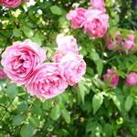 ミツバチガーデン カフェ - 今の時期は薔薇がきれい