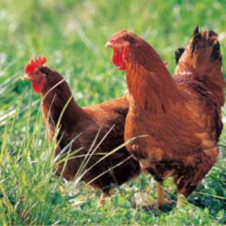 朝引き!旨味の強い宮崎地頭鶏と宮崎赤鶏を使用!