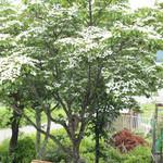 アロマテラス - お店の前の山法師の木