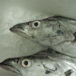 仙台藩 - 七ヶ浜の採れたて太刀魚!目が綺麗