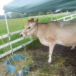 29280520 - 乳しぼり受付中のジャージー牛さんです