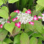 きらく懐石割烹 - 庭で咲いてた紫陽花、グラデーションが綺麗