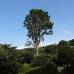 kizunapurasu - (2014年7月)庭園に聳え立つ大王松(ダイオウショウ)夜はライトアップされます